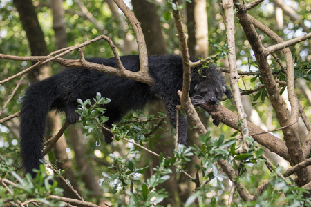 Image of a binturong or bearcat on the tree on nature background. Wild animals. Stock Photo