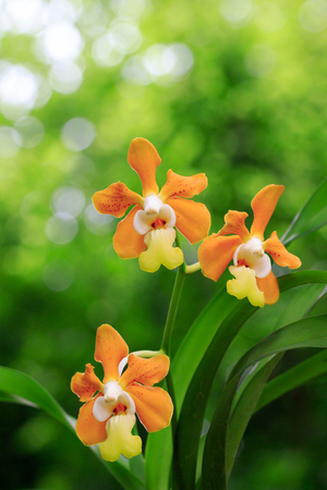 Image of vanda denisoniana orchid (ORCHIDACEAE) on nature background in the garden. Stock Photo