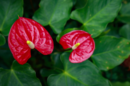 Image of Flamingo flower, Pigtail Anthurium or Pigtail flamingo flower on nature background.