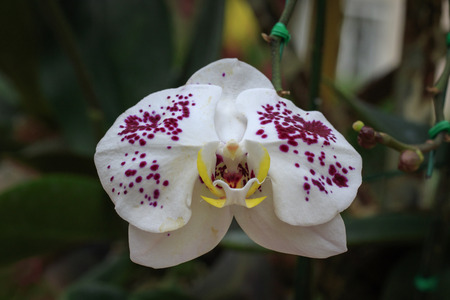 Image of beautiful white orchid flowers(Phalaenopsis) in the garden.