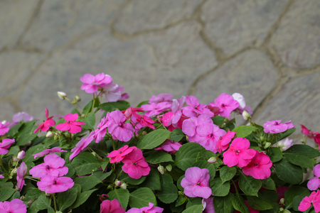 Image of Impatiens walleriana or impatiens sultanii or lizzie or balsam or sultana or simply impatiens many pink flowers in bloom in the garden. Stock Photo