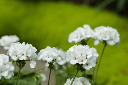 Image of beautiful white geranium flowers, Pelargonium x hortorum L.H.Bail (Geraniaceae) in the garden.