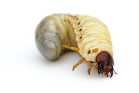 Afbeelding van grub wormen, Coconut neushoorn bug (Oryctes neushoorn), Larve op witte achtergrond.