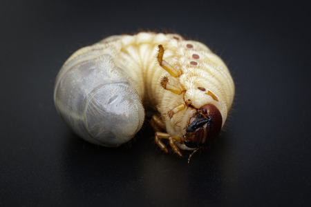 Image of grub worms, Coconut rhinoceros bug (Oryctes rhinoceros), Larva on black background.