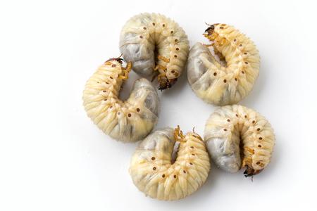 Afbeelding van grub wormen, Coconut neushoorn bug (Oryctes neushoorn), Larve op witte achtergrond. Stockfoto - 90103299