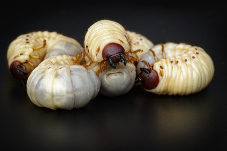 Image of grub worms, Coconut rhinoceros bug(Oryctes rhinoceros), Larva on black background.