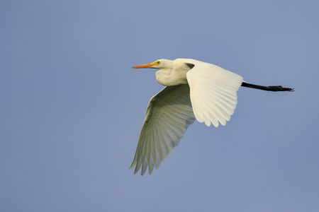 Image of Great white egret flying in the sky. Bird, Animals.