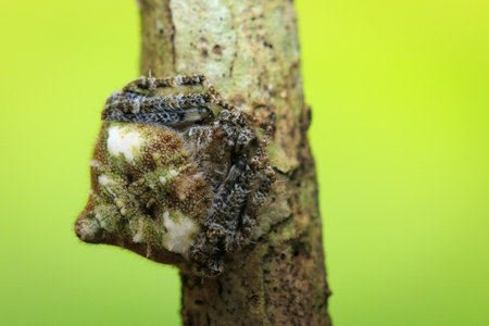 Image of Laglaises Orb-weaver Spider(Eriovixia laglaizei) on dry branches. Insect. Animal.