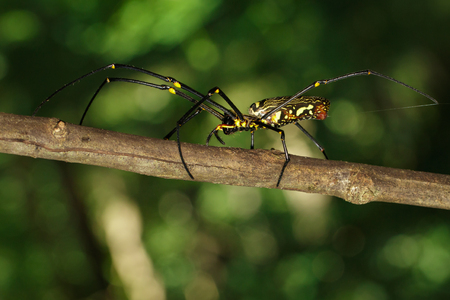 net: Image of Golden Long-jawed Orb-weaver Spider(Nephila pilipes) on dry branches. Insect. Animal.