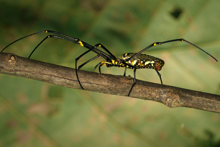 Image of Golden Long-jawed Orb-weaver Spider(Nephila pilipes) on dry branches. Insect. Animal.