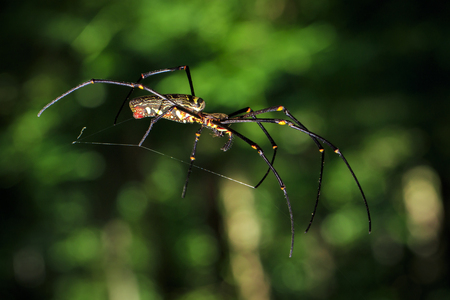 Image of Golden Long-jawed Orb-weaver Spider(Nephila pilipes) on the spider web. Insect. Animal Stock Photo