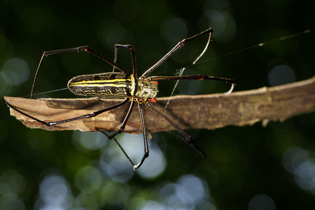 WEAVER: Image of Golden Long-jawed Orb-weaver Spider(Nephila pilipes) on dry branches. Insect. Animal.