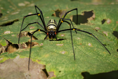 net: Image of Golden Long-jawed Orb-weaver Spider(Nephila pilipes) on a green leaf. Insect. Animal