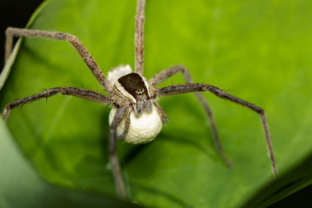 Image of Four-spotted Nursery Web Spider and spider eggs (Sphedanus quadrimaculatus) on a green leaf. Insect, Animal.