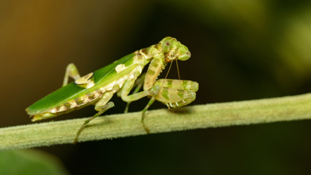 Image of flower mantis(Creobroter gemmatus) on branches. Insect. Animal. Stock Photo