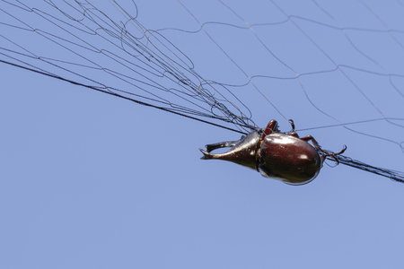Image of rhinoceros beetle(Dynastinae) is attached to the net. Insect. Animals.