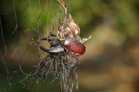 net: Image of rhinoceros beetle(Dynastinae) is attached to the net. Insect. Animals.