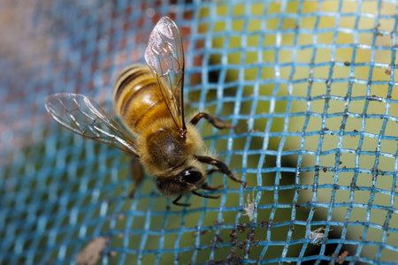 Image of bee on the net. Insect. Animals.