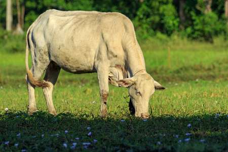 Image of a cow in the green meadow. Animal farm. Stock Photo