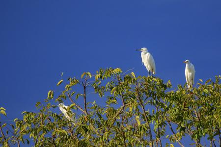 Image of Heron, Bittern or Egret on tree on sky background. White Bird. Animal.