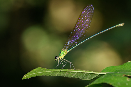 Image of Dragonfly(Vestalaria smaragdina, Amphipterygidae) on green leaves. Insect Animal.