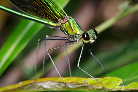 Image of Oriental Green-Wing Dragonfly(Male),Neurobasis chinensis chinensis on nature background. Insect Animal