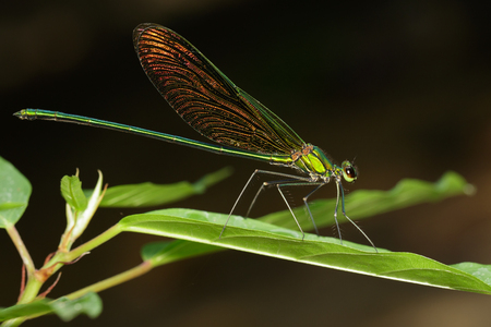 Image of Oriental Green-Wing Dragonfly(Male),Neurobasis chinensis chinensis on green leaves. Insect Animal.