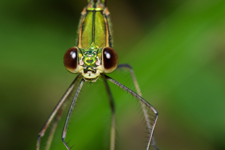 Image of Oriental Green-Wing Dragonfly(Female),Neurobasis chinensis chinensis on nature background. Insect Animal