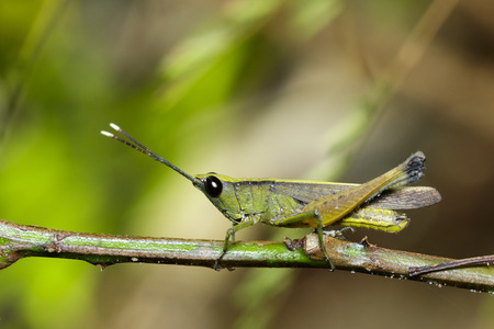 Image of sugarcane white-tipped locust (Ceracris fasciata) on the natural background. Grasshopper. Insect. Animal. Caelifera., Acrididae