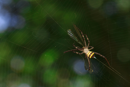 Image of multi-coloured argiope spider (Argiope pulchellla.) in the net. Insect. Animal.