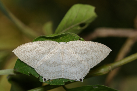 Image of Pointed Flatwing Butterfly(Micronia aculeata) on green leaves. Insect. Animal Stock Photo