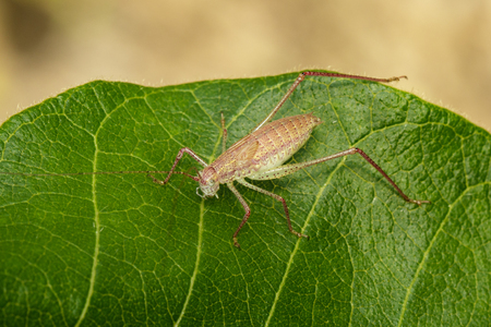 Image of a Long-Horned Grasshopper on green leaves. Insect Animal.