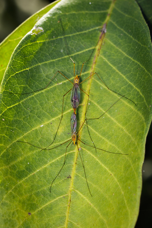 Image of two crane fly on green leaves. Insect. Animal. Stock Photo