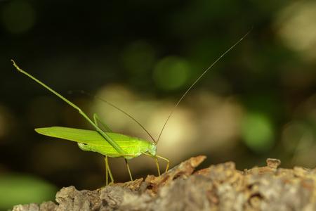Image of green bush-cricket long horned grasshopper on natural background. Insect. Animal. Standard-Bild