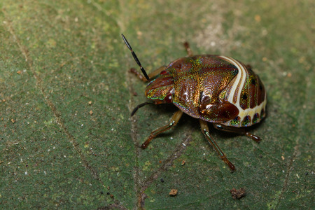 Image of beetle ladybird (Hippodamia variegata) on a green leaf. Insect.  Animal. Stock Photo