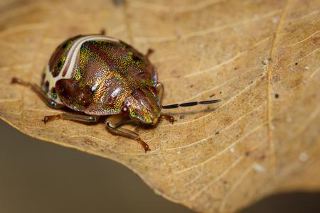 Image of beetle ladybird (Hippodamia variegata) on a brown leaf. Insect.  Animal.