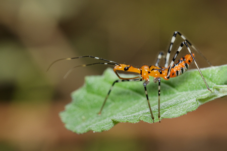 Image of Assassin Bug (Zelus longipes) on green leaves. Insect. Animal.