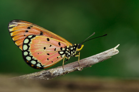 Image of Tawny Coster Butterfly (Acraea violae) on dry branches on the natural background. Insect. Animal.
