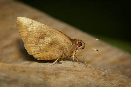 Image of the common Redeye Butterfly (Matapa aria Moore) on brown leaf. Insect. Animal. Stock Photo