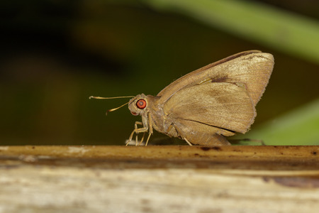 Image of the common Redeye Butterfly (Matapa aria Moore) on tree. Insect. Animal.