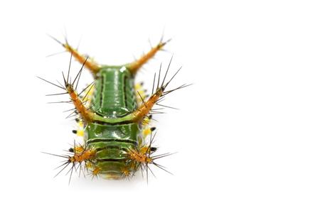 白い背景に刺すネトルスラッグキャタピラー(カップモス、リマコディダエ)「グリーンマローダー」の画像。昆虫。ワーム。動物。