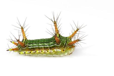 """Afbeelding van Brandnetel Naaktslak Caterpillar (Cup Moth, Limacodidae) """"Green Marauder"""" op een witte achtergrond. Insect. Worm. Dier."""