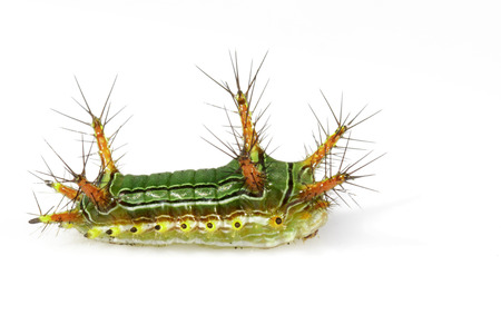 Image of Stinging Nettle Slug Caterpillar (Cup Moth, Limacodidae)
