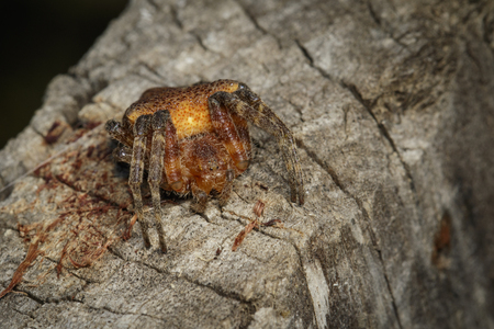 Image of Cyrtophora exanthematica Doleschall, 1859 Double Tailed Tent Spider(Cyrtophorinae, Araneomorphae) on tree. Insect. Animal.