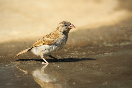 Image of Sparrow on the floor there is a reflection of water. Birds. Animal.