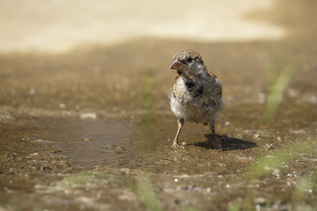 Image of Sparrows are drinking water on the floor. Birds. Animal. Stock Photo