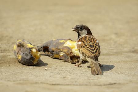 Image of sparrow bird eating a banana on the floor. Birds. Animal. Stock Photo