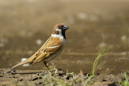 Image of Sparrows are drinking water on the floor. Birds. Animal. 스톡 콘텐츠