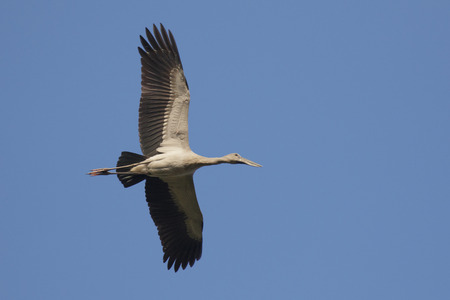 Image of an Asian openbill stork(Anastomus oscitans) flying in the sky. Bird, Wild Animals. Stock Photo