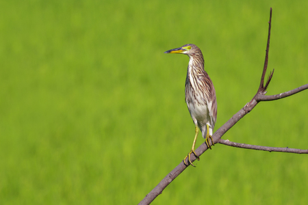 Image of Chinese Pond Heron (Ardeola bacchus) on the branch on nature background. Bird, Wild Animals. 写真素材